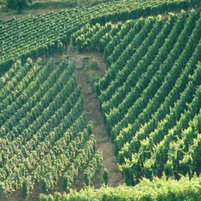 vignoble vin de Champagne