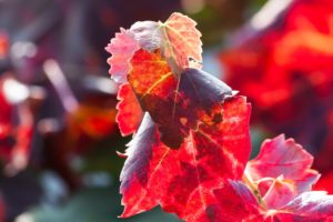 vigne rouge de l'école du vin