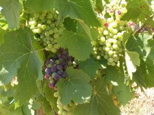 vigne produisant du vin biologique